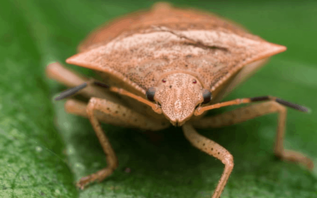 BMSB (Brown Marmorated stink bug) Announcement for Season 20/21