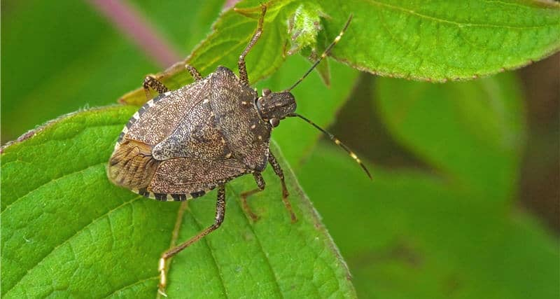 Brown Marmorated Stink Bug – Risk Season Update
